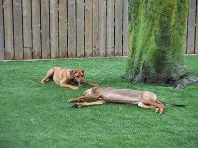 dogs on artificial lawn